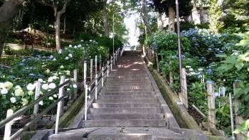 階段のまわりのあじさい